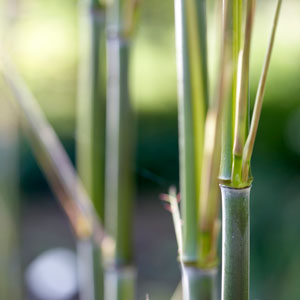 Bamboos and Bamboo Plants