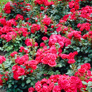 Bush and Shrub Roses