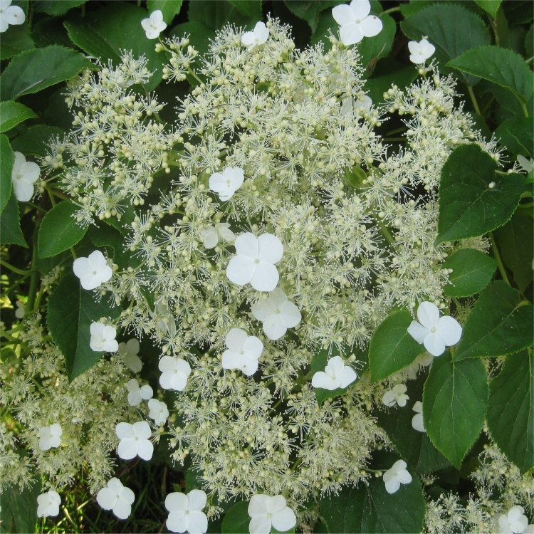 hydrangea petiolaris climbing hydrangea pack of three hydrangea anomala plants - House Plants Vines