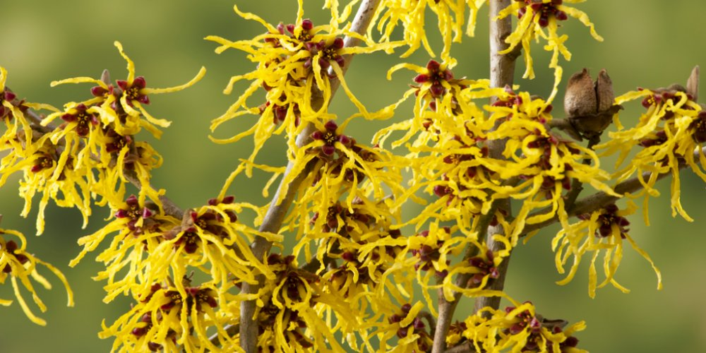 hamamelis-witch-hazels1000x500