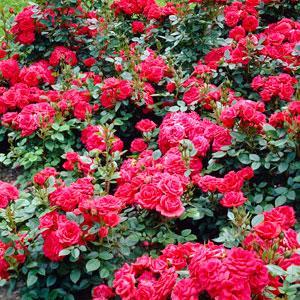 Bush and Shrub Roses