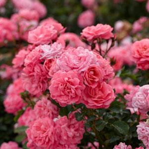 Flower Carpet Roses - Perfect for Ground Cover