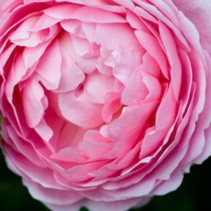 David Austin Roses - Old English Style Shrub Roses