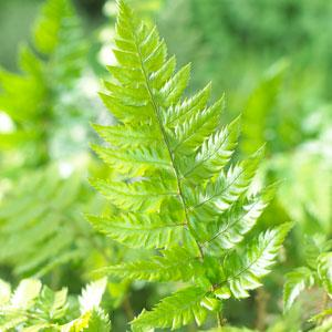 Ferns – Hardy Garden Fern Plants