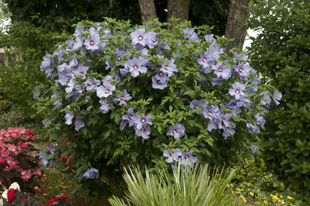 hibiscus syriacus blue bird hibiscus syriacus blue bird. Black Bedroom Furniture Sets. Home Design Ideas