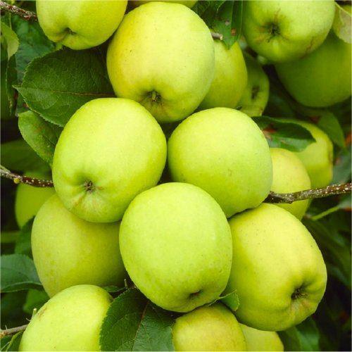 Apple Tree Multi Variety Fruit Tree Apple 5 Varieties On One Tree Ebay