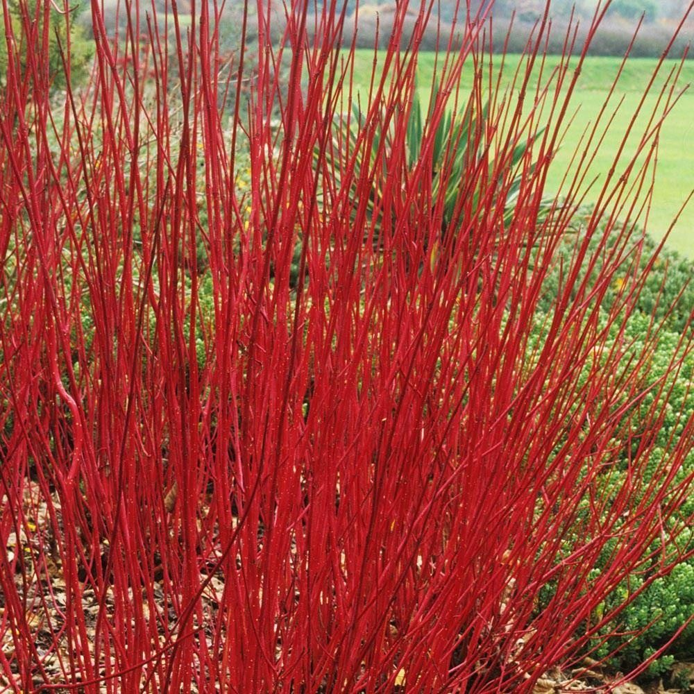 cornus alba sibirica red barked dog wood pack of three
