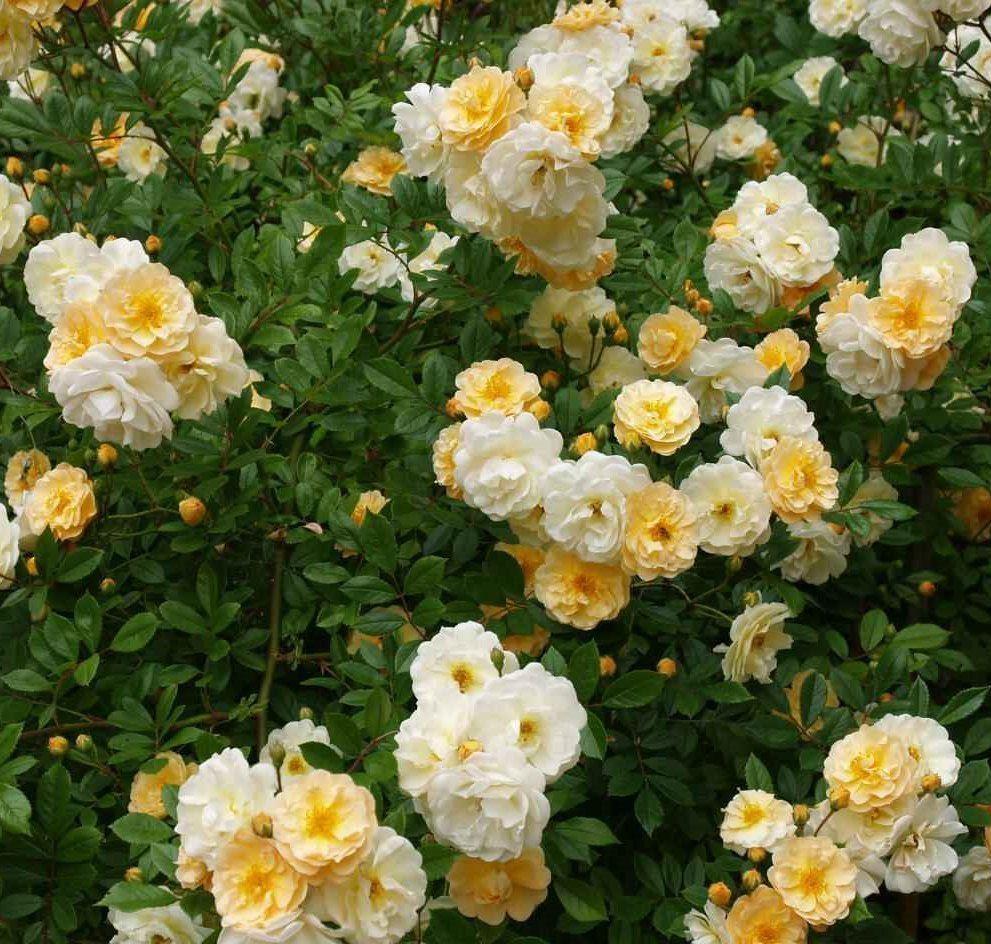 rose goldfinch multiflora rambling rose. Black Bedroom Furniture Sets. Home Design Ideas