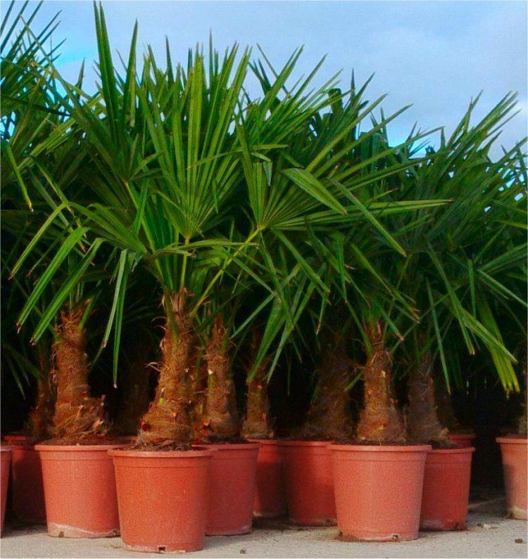 trachycarpus fortunei large hardy windmill palm 100 120cms. Black Bedroom Furniture Sets. Home Design Ideas