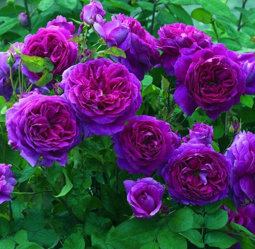 Rose ebb tide floribunda rose for Where can i buy rainbow roses in the uk