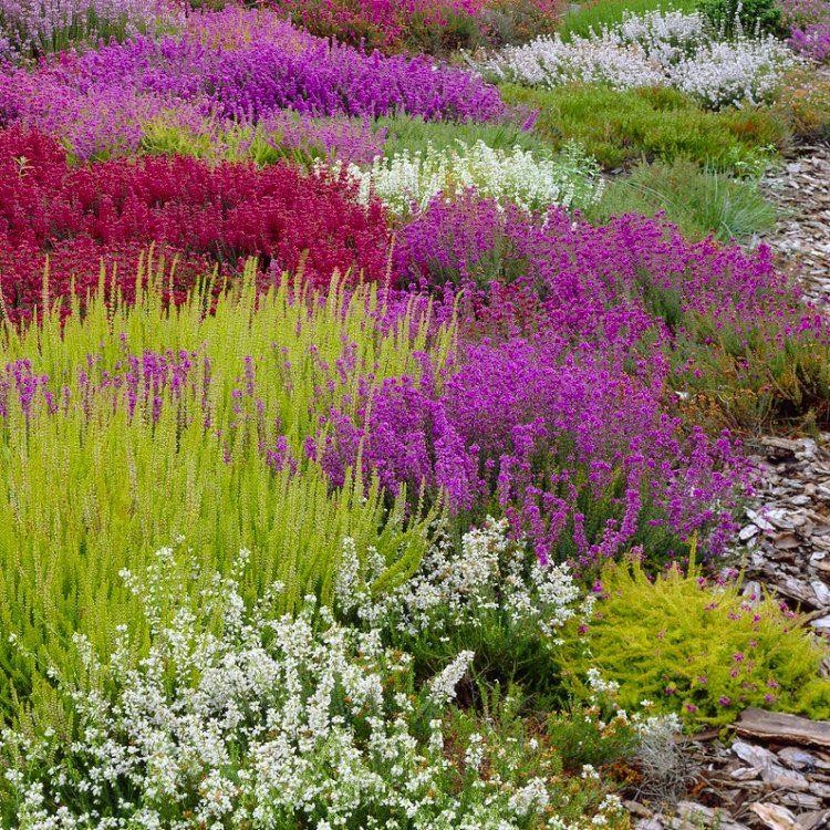 Evergreen heather plant collection pack of six winter hardy evergreen plants in bud - Hardy office plants ...
