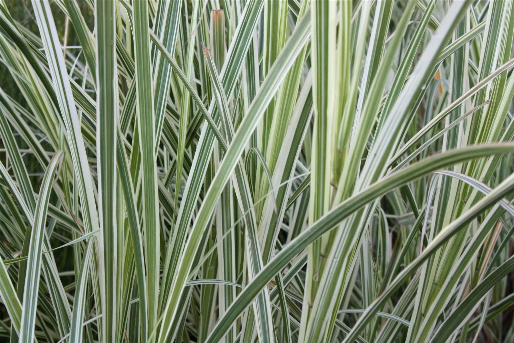 Miscanthus sinensis variegatus japanese silver grass for Variegated ornamental grass