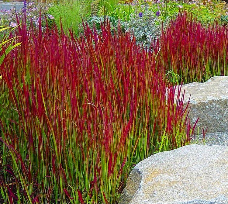 Imperata cylindrica red baron pack of three japanese for Perennial grasses red
