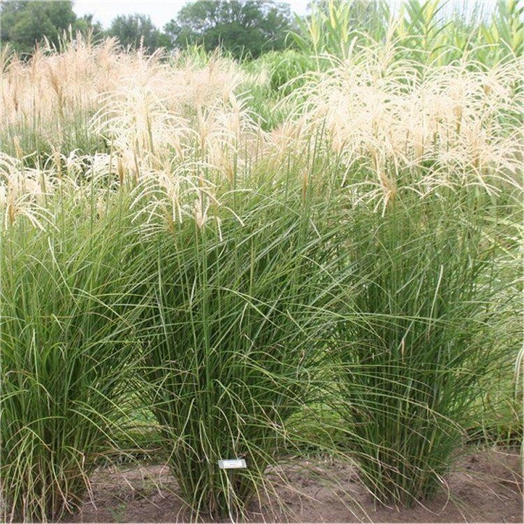 miscanthus sinensis graziella silver grass. Black Bedroom Furniture Sets. Home Design Ideas