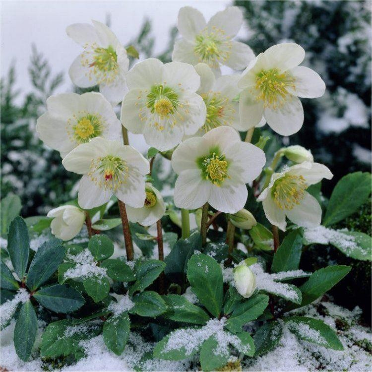special deal helleborus niger white hellebore in bud pack of six plants. Black Bedroom Furniture Sets. Home Design Ideas