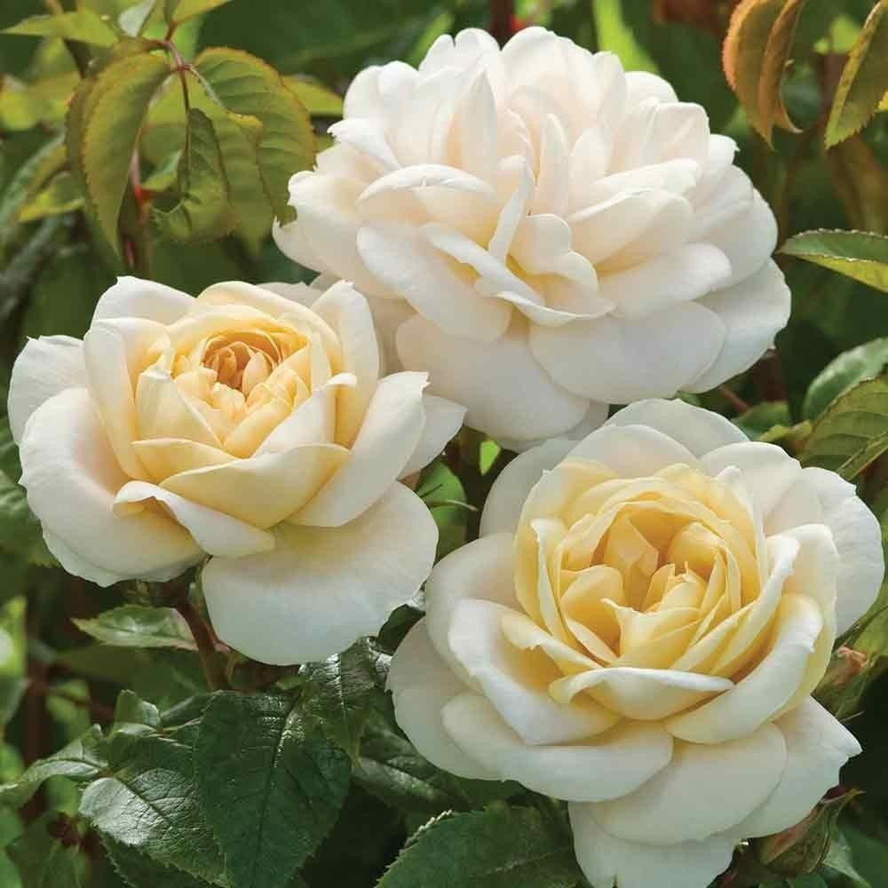 Rose champagne moment floribunda bush rose for What is rose champagne