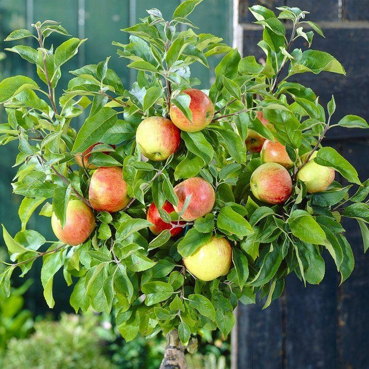 Patio Fruit Tree Compact Apple 39 Braeburn 39 Tree