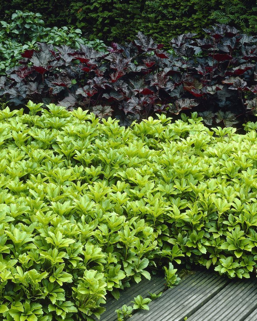 pachysandra terminalis japanese spurge perfect for ground cover pack of ten plants. Black Bedroom Furniture Sets. Home Design Ideas