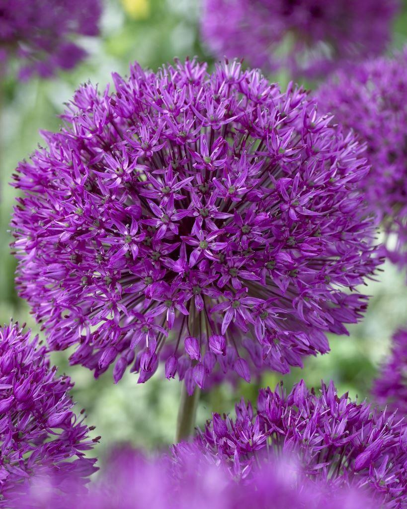 allium purple sensation ornamental onion plant. Black Bedroom Furniture Sets. Home Design Ideas