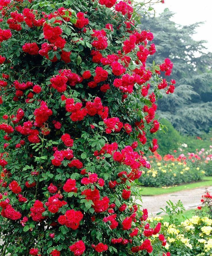pauls care a rose for How to take care of climbing rose pauls scarl choose a sunny site that gets at least 4 to 5 hours of sun water the pot thoroughly never plant climbing rose pauls scarl during frost.