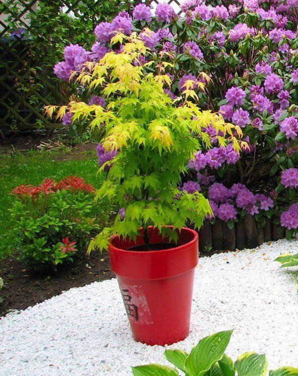 Acer palmatum orange dream for Dream plants for the natural garden