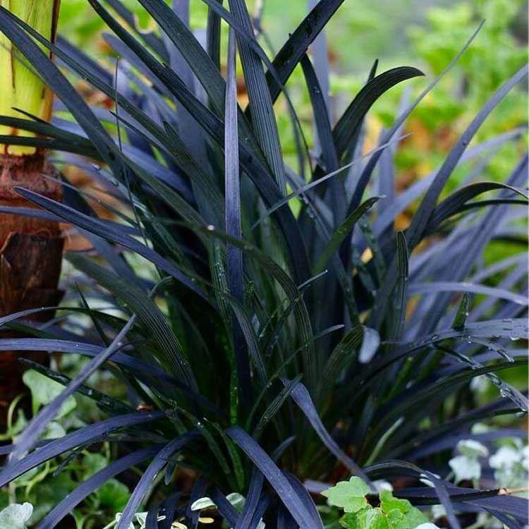 Ophiopogon planiscapus nigrascens black ornamental grass for Coloured ornamental grasses