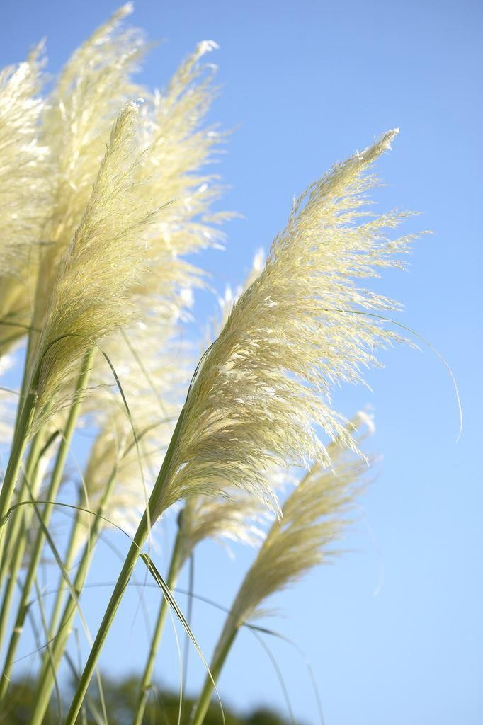 Sunningdale silver pampas grass cortaderia selloana for Decorative tall grass plants