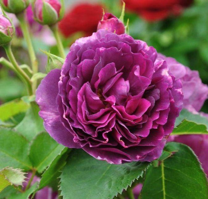Rose minerva floribunda rose for Where can i buy rainbow roses in the uk