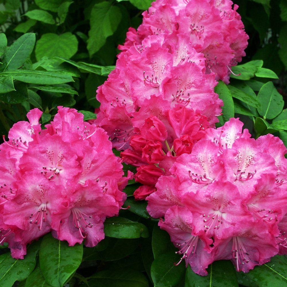 rhododendron germania rhododendron hybrid. Black Bedroom Furniture Sets. Home Design Ideas