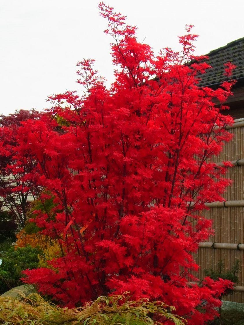 Large Acer Japanese Maple Tree Skeeters Broom