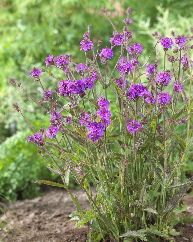 Verbena Rigida Low Growing Perennial Purple Verbena