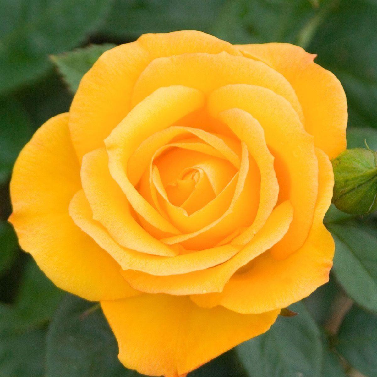 Rose Climbing Arthur Bell Climbing Rose