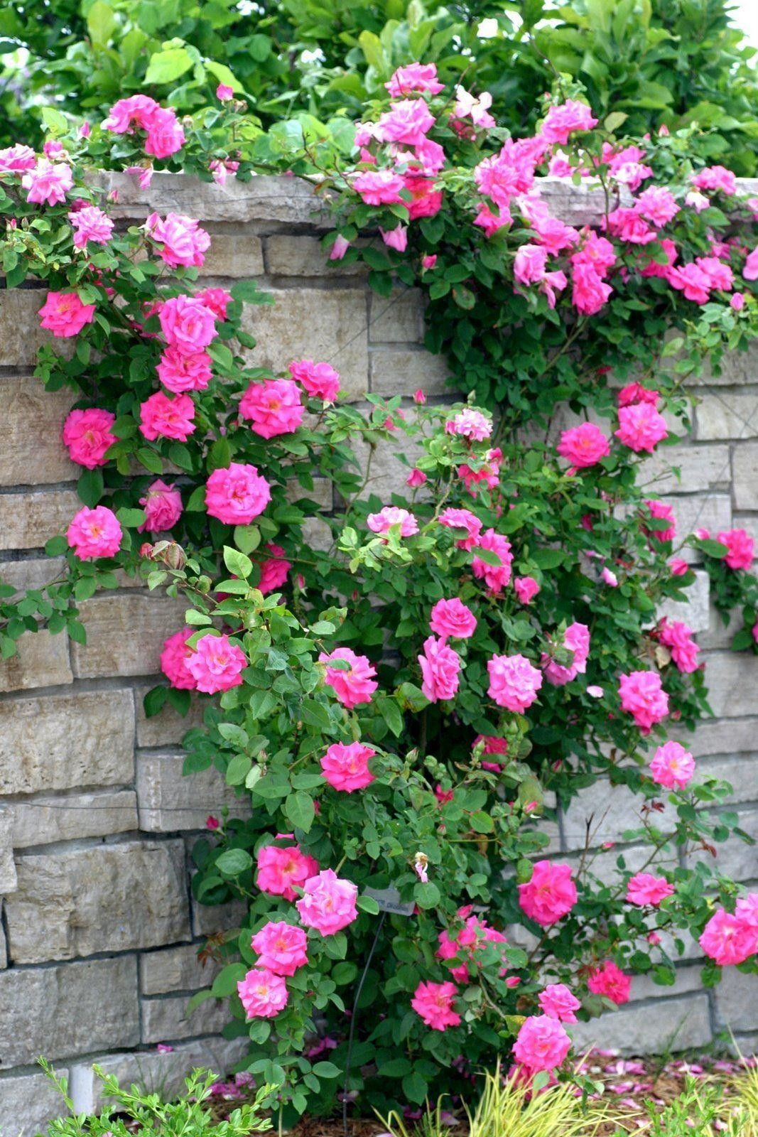 climbing rose zephirine drouhin the thornless rose. Black Bedroom Furniture Sets. Home Design Ideas