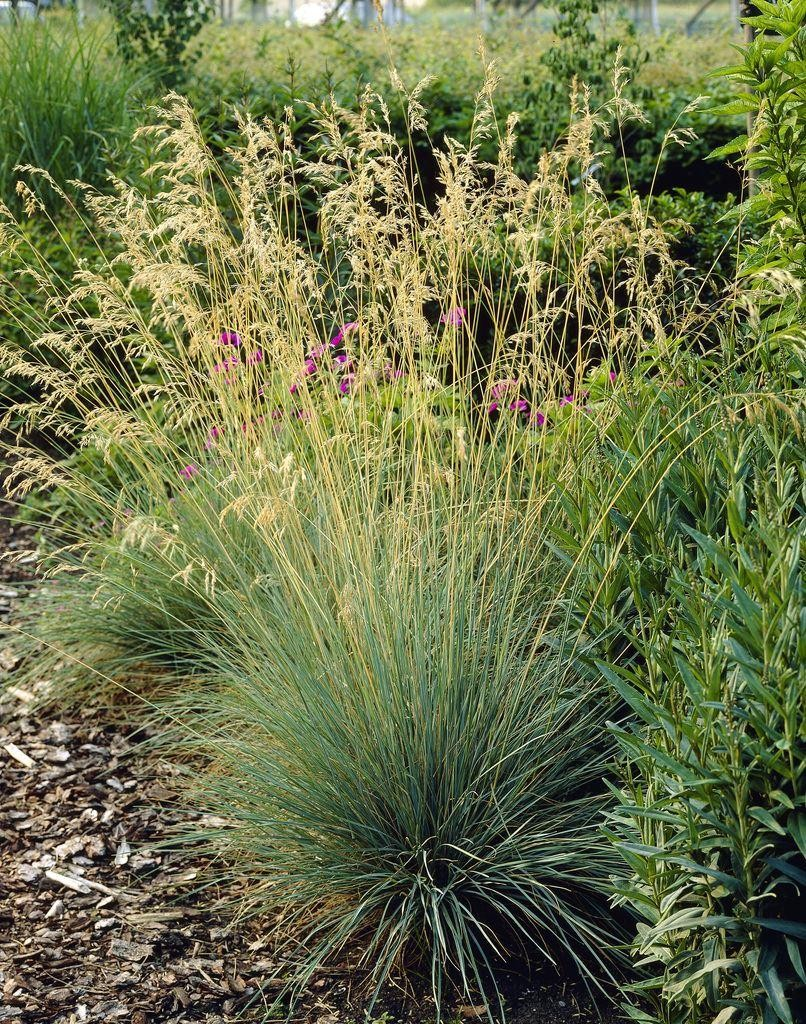 Koeleria glauca blue hair grass for Blue grasses for the garden