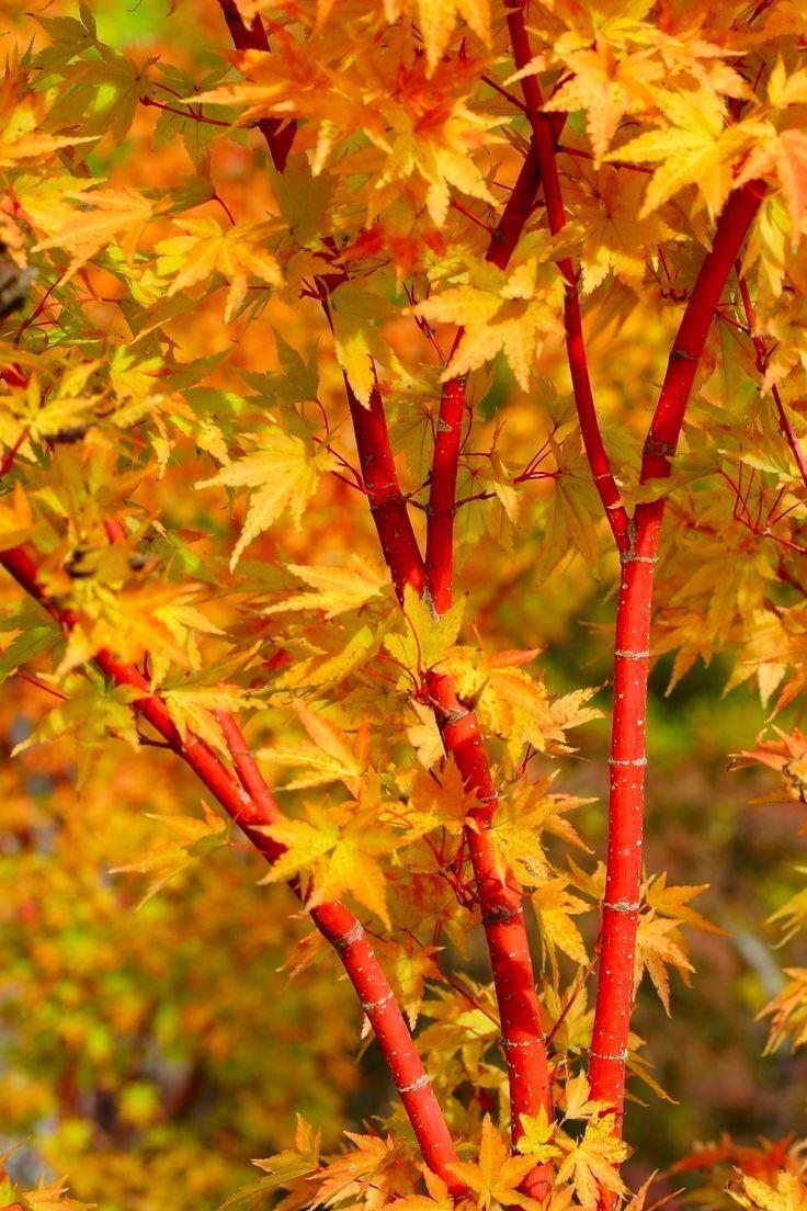 Acer Palmatum Sango Kaku Coral Bark Maple Large Specimen