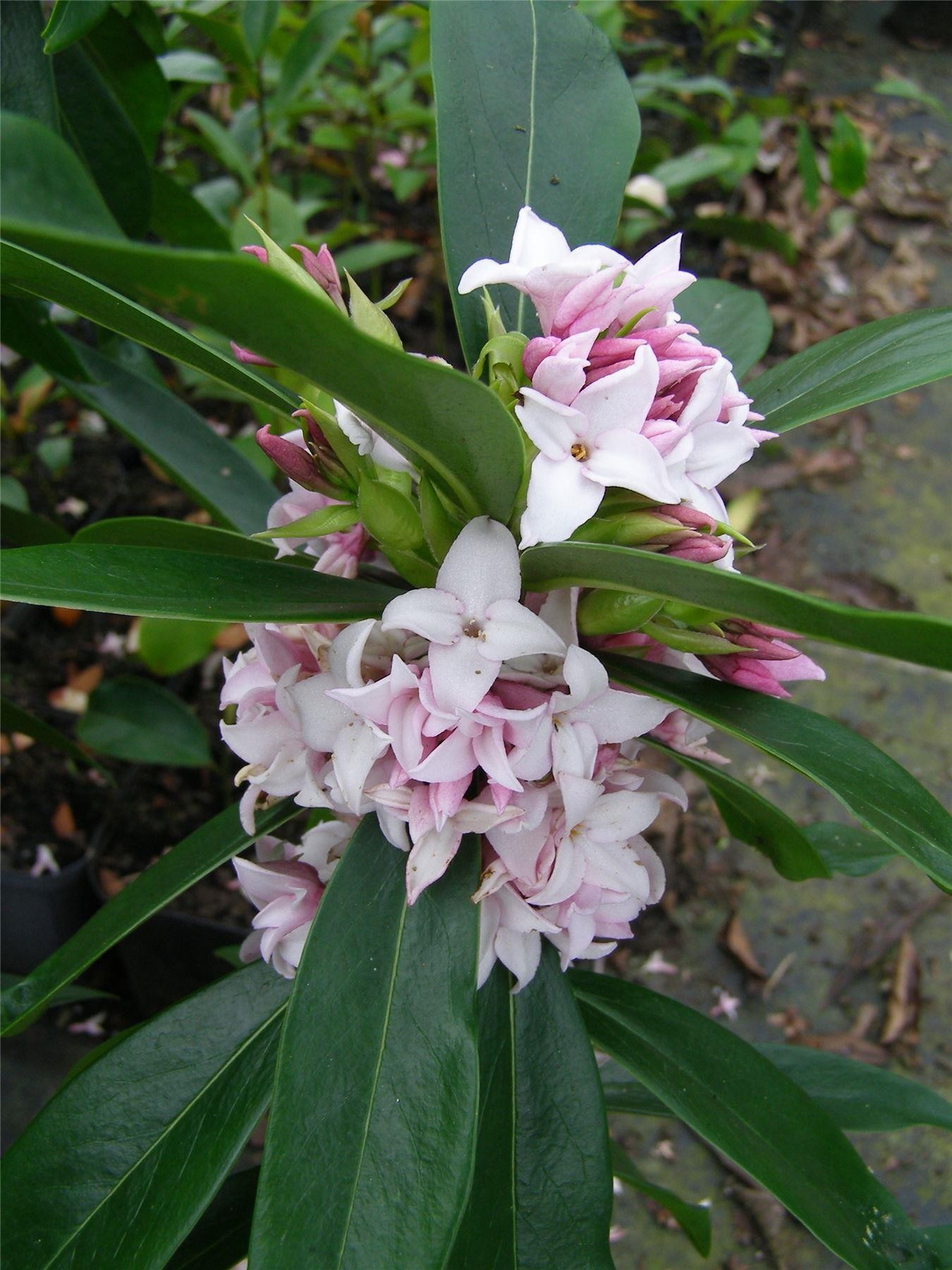 Daphne perfume princess worlds most fragrant shrub new for New garden plants