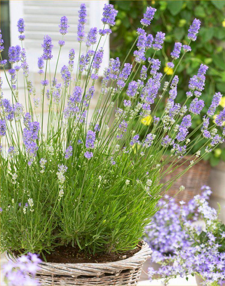 lavandula angustifolia english lavender pack of 10 plants. Black Bedroom Furniture Sets. Home Design Ideas