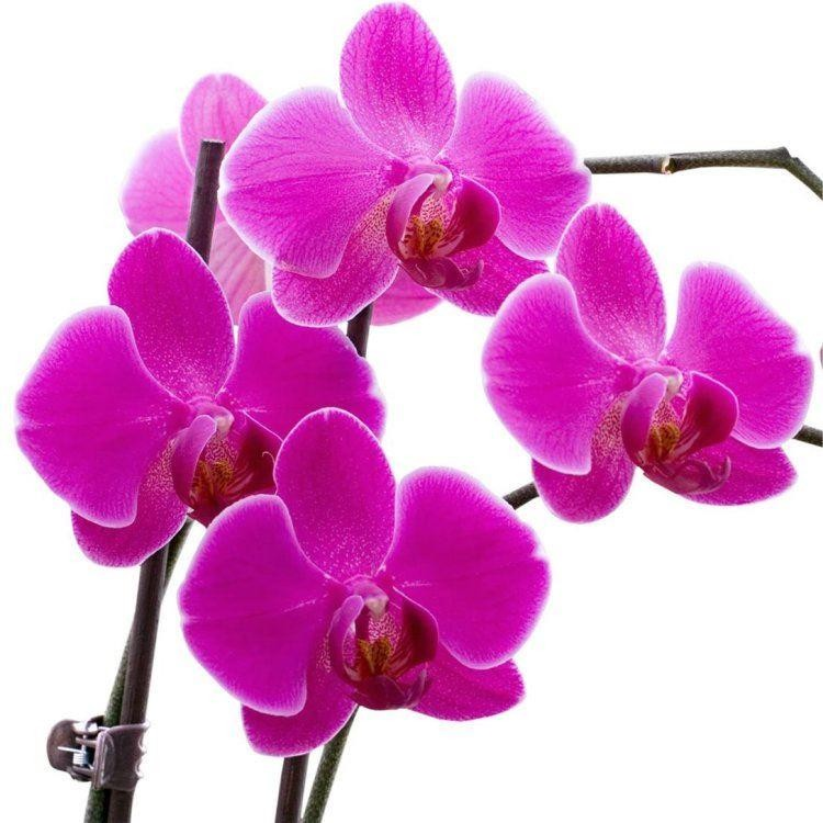 White Orchid Water Pink: PINK Moth Orchids In Stylish White
