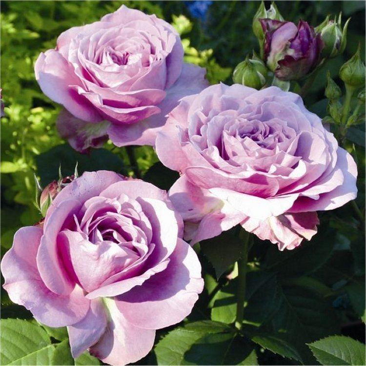 Rose Lavender Ice Floribunda Rose