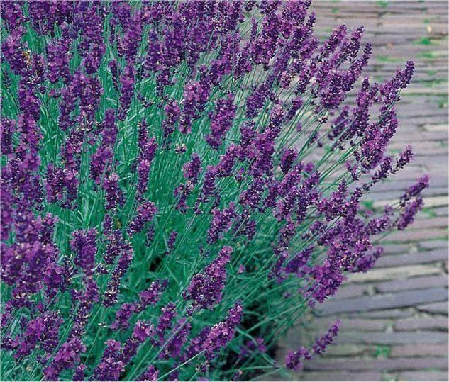 lavandula angustifolia english lavender pack of 10 plants. Black Bedroom Furniture Sets. Home Design Ideas