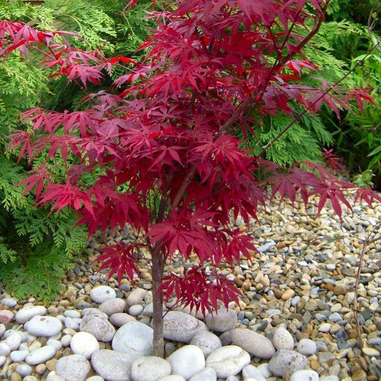 acer palmatum peve dave japanese maple. Black Bedroom Furniture Sets. Home Design Ideas