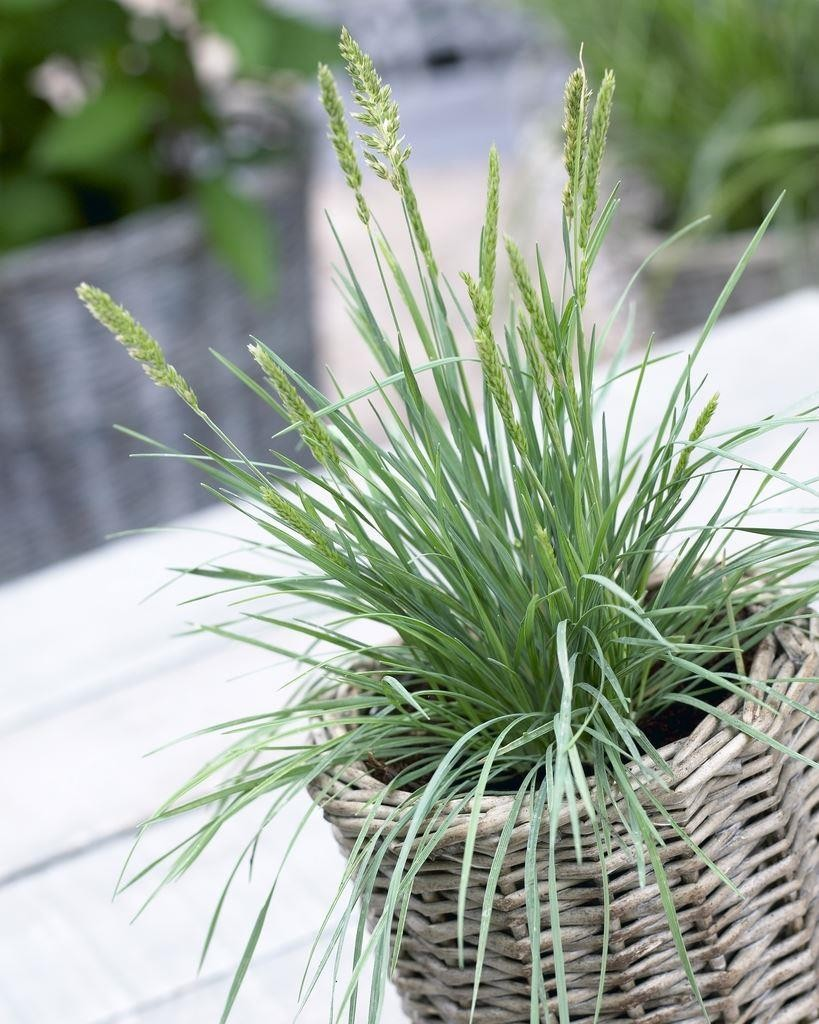 Koeleria glauca blue hair grass for Outdoor tall grass plants