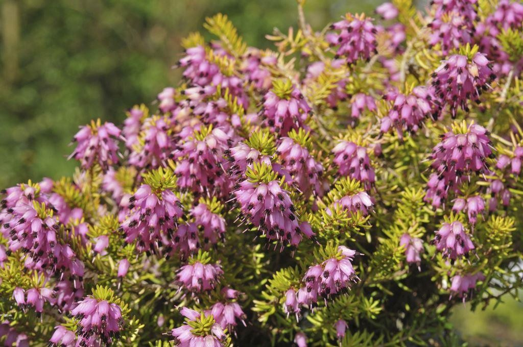 Special deal heather collection pack of 15 winter hardy evergreen plants in bud - Hardy office plants ...