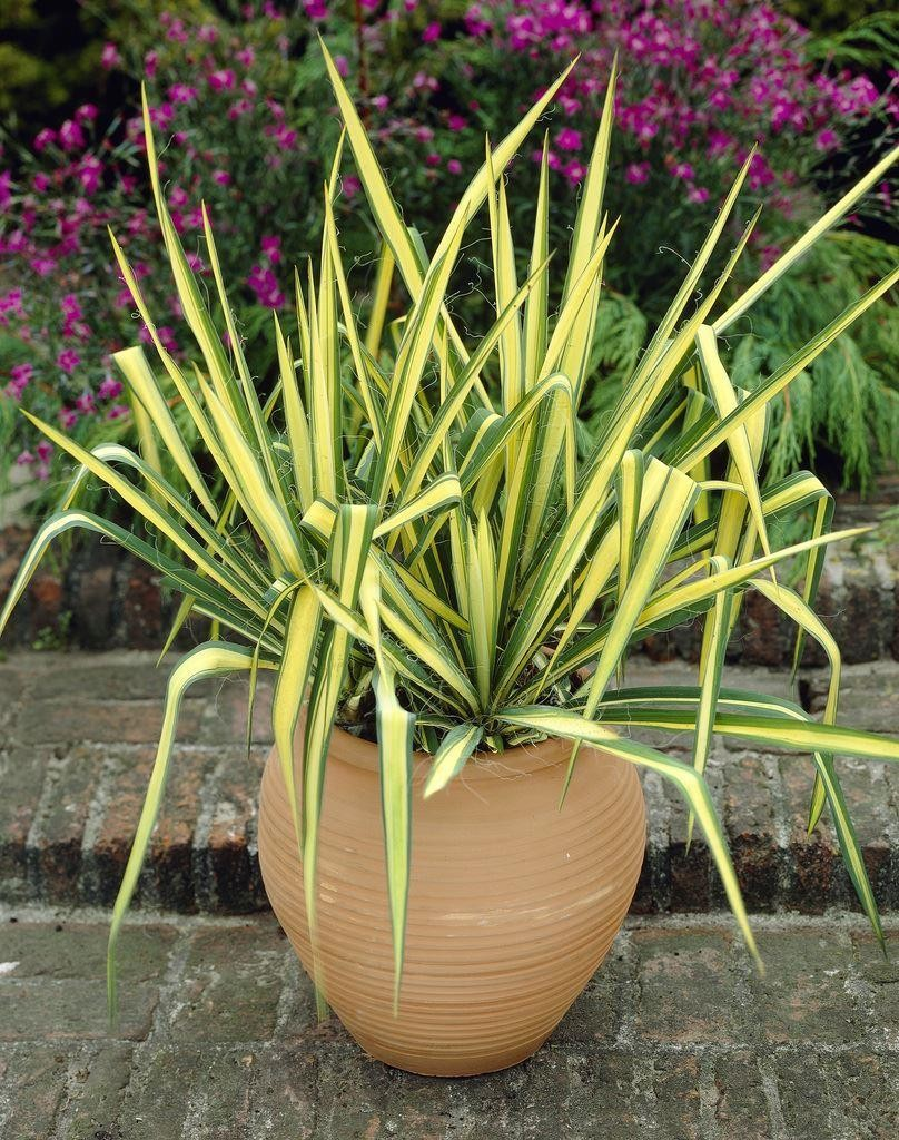 Yucca Colour Guard Variegated Adams Needle