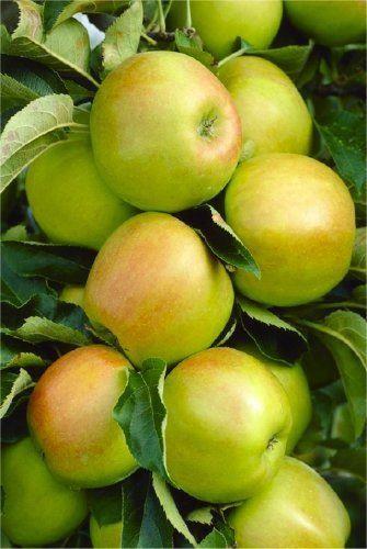 Apple Tree Multi Variety Fruit Tree Apple 5 Varieties On One Tree