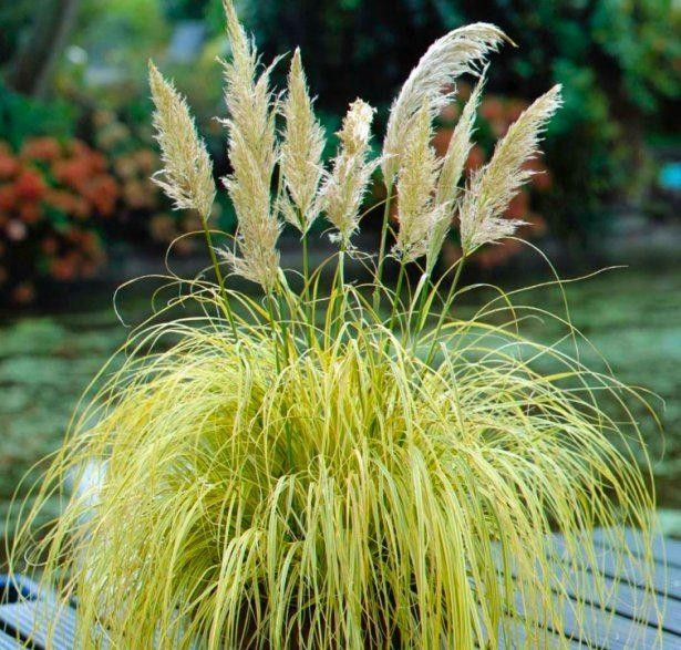 Cortaderia selloana splendid star dwarf golden pampas grass for Ornamental grasses that stay green all year