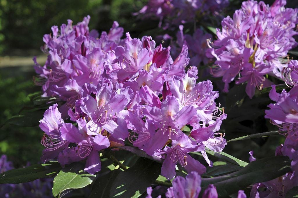 Small Ornamental Grasses With Purple Flowers Rhododendron ponticum ...