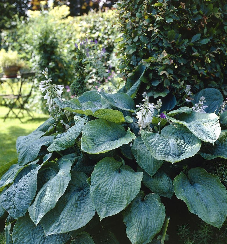 hosta big daddy sieboldiana hybrid. Black Bedroom Furniture Sets. Home Design Ideas