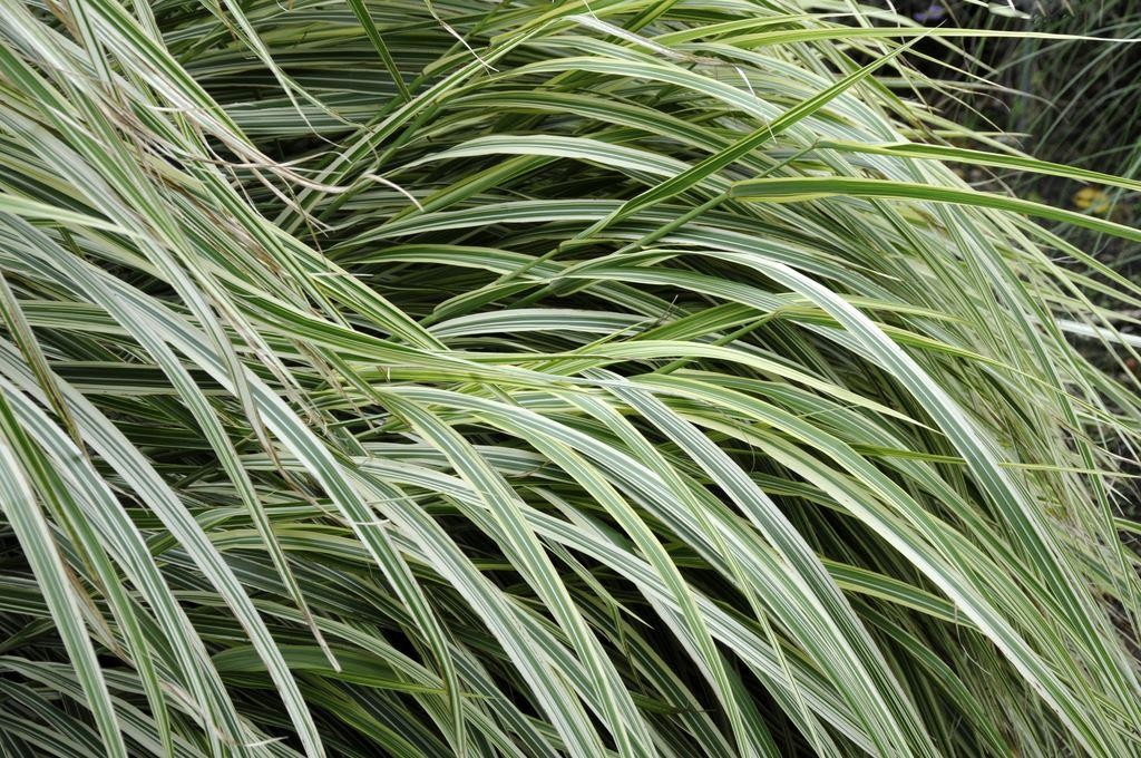 Miscanthus sinensis variegatus japanese silver grass for Giant ornamental grass