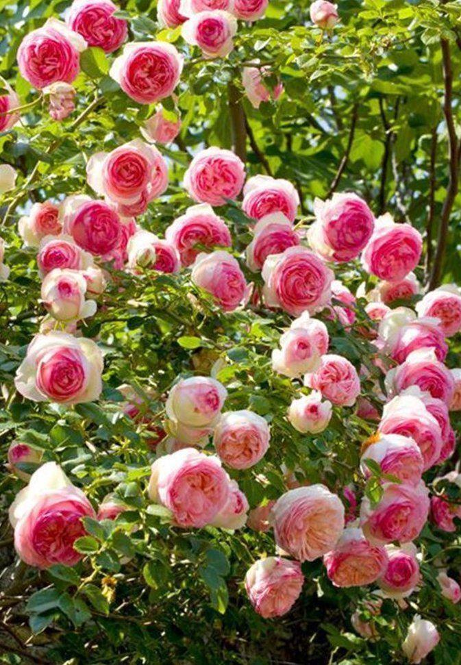 Rose pierre de ronsard climbing rose for Pierre de ronsard rosa